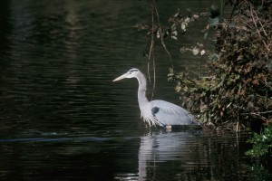 ardea herodias, great, blue, herons, water