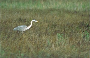 grast, blue, heron, bird, walking, long, grass, ardea herodias