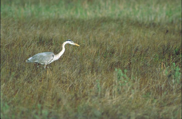 grast, blue, heron, bird, walking, long, grass, ardea herodias