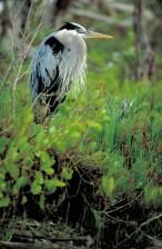 great, blue, heron, bird, ardea herodias