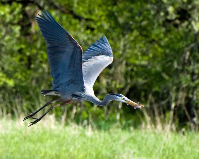 great, blue, heron, bird, ardea herodias, flies, catch