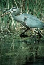 great, blue, heron, up-close, bird