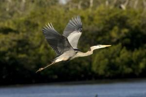 great, blue, heron, beautiful, flight