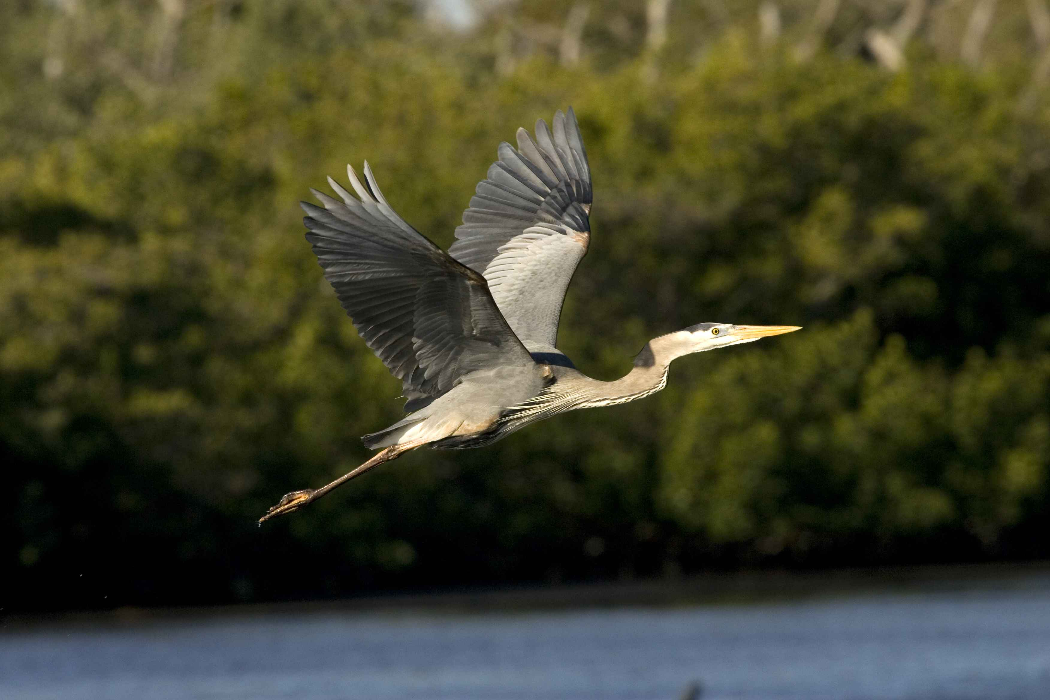 Full Size Van >> Free picture: great, blue, heron, beautiful, flight