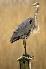 great, blue, heron, nesting, box, wetland area
