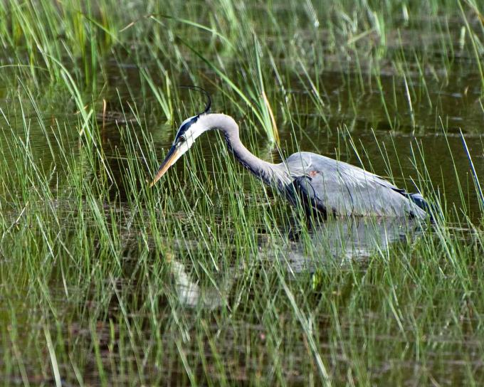 great, blue, heron, searches, meal