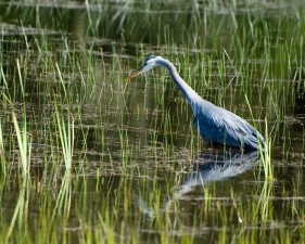 great, blue, heron, wades, waters