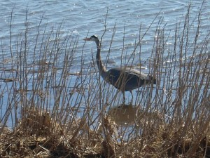 great, blue, heron, wading, water