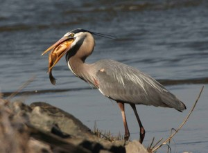 great, blue, heron, fish, beak, ardea herosias