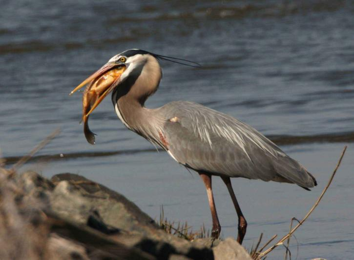 great, blue, heron, fish, beak, ardea herosias