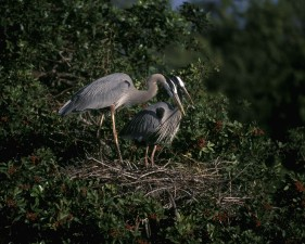 great, blue, herons, birds, ardea herodias