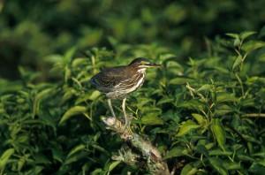 butorides virescens, green, heron, fågel, vilt