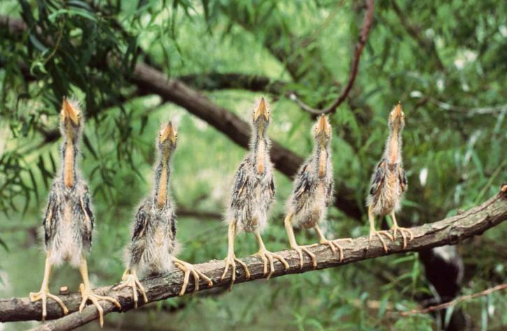 five, young, green, herons, standing, branch