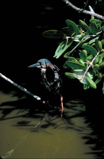 зелено, гръб, чапла, птици, butorides, гълъбка