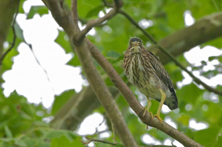green, backed, heron, bird, branch