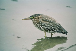 green, backed, heron, small, chunky, heron, short legs