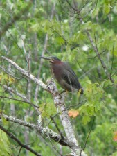 green, heron, butorides virescens