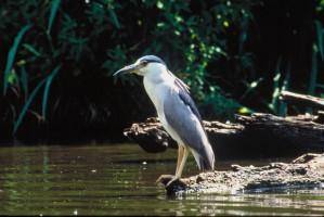 Heron, stojany, naplavené drevo, vyzerá, voda