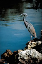 little, blue, heron, bird, standing, rocks, overlooking, water, ardea caerulea