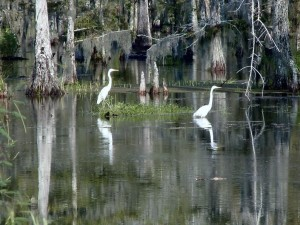 louisiana, huerons, birds