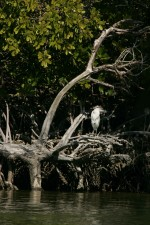 single, little, blue, heron, standing, mangrove, roots, egretta, caerulea