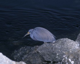 tricolored, heron, bird, egretta, tricolor, sitting, rock, up-close, water