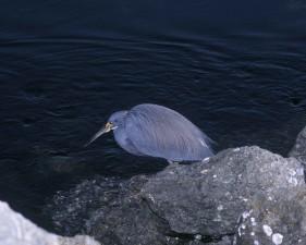 tricolored, héron, oiseau, egretta, tricolore, assis, rock, de près, de l'eau