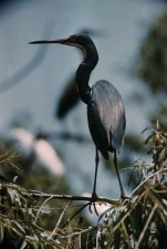 tricolored, heron, bird, stands, ergetta, tricolor