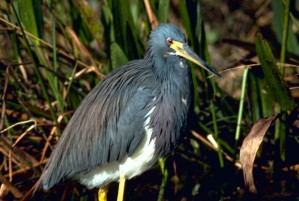 tricolored, heron, louisiana, heron, bird, egretta, tricolor