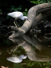 young, little, blue, heron, egretta, caerulea