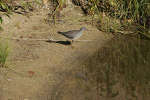 heteroscelus, incanus, bird, alert, surveying