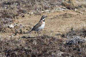 horned, lark, male, remophila, alpestris
