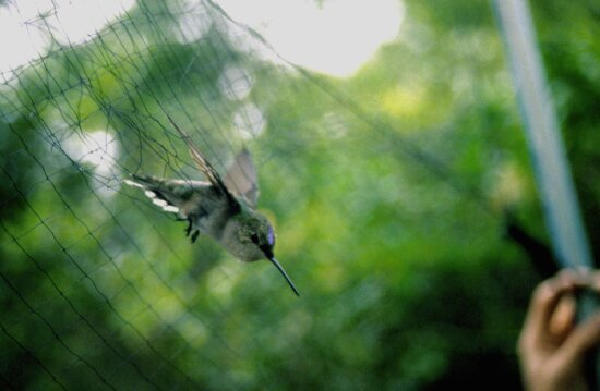ruby, throated, hummingbird, caught, net