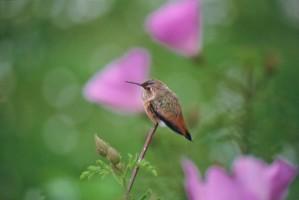 allens, hummingbird