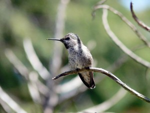 hummingbird, wild, bird