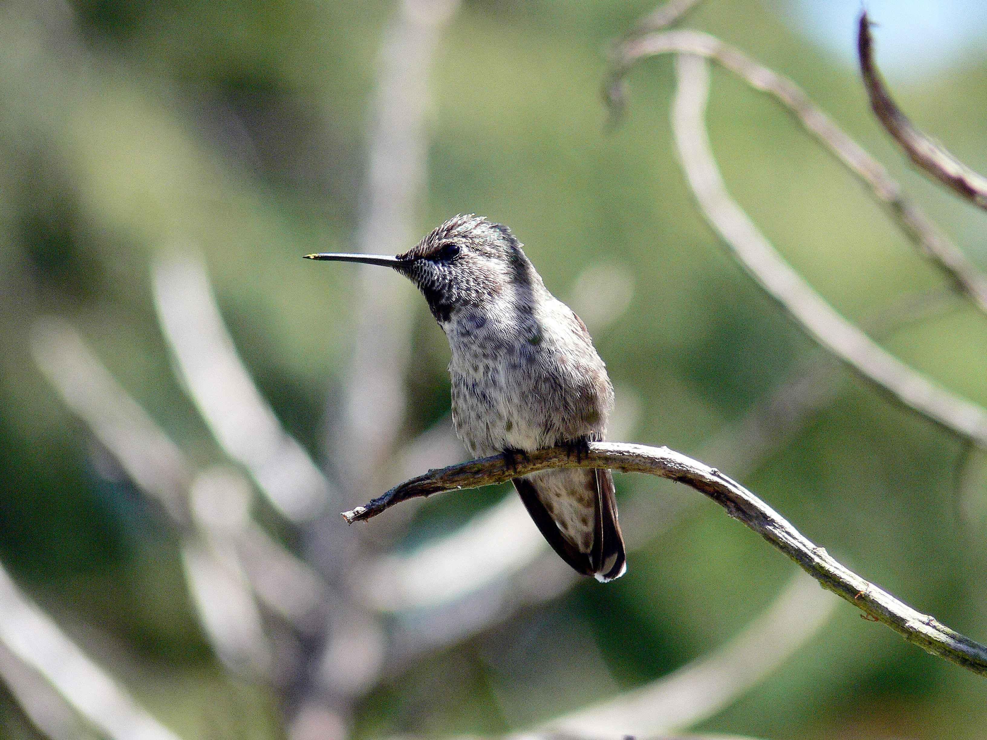 free picture hummingbird wild bird