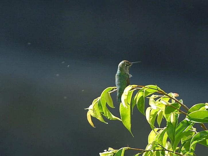 hummingbirdon, green, tree