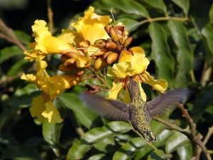 hummingbirds, flowers, flying