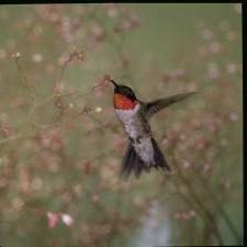 ruby, throated, hummingbird, archilochus colubris
