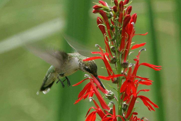 ruby, throated, hummingbird, archilochus colubris, cardinal, flower