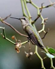 ruby, throated, hummingbird, bird, tree