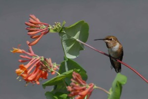 rufous, hummingbird, pauses, flight