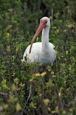 Amerikansk vit ibis, fågel, eudocimus albus