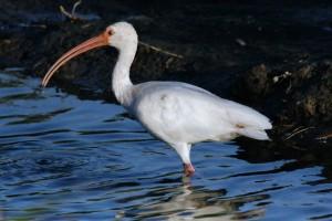 Amerikansk vit ibis, fågel, Vada, vatten, eudocimus albus