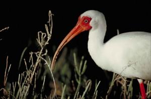 up-blízko, hlavu, vpredu, časť, telo, biela ibis, vták, eudocimus, alba