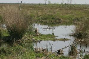 lone, ibis, marsh
