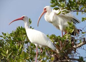two, white ibis, birds, eudocimus, alba, branch, bask, warm, sun
