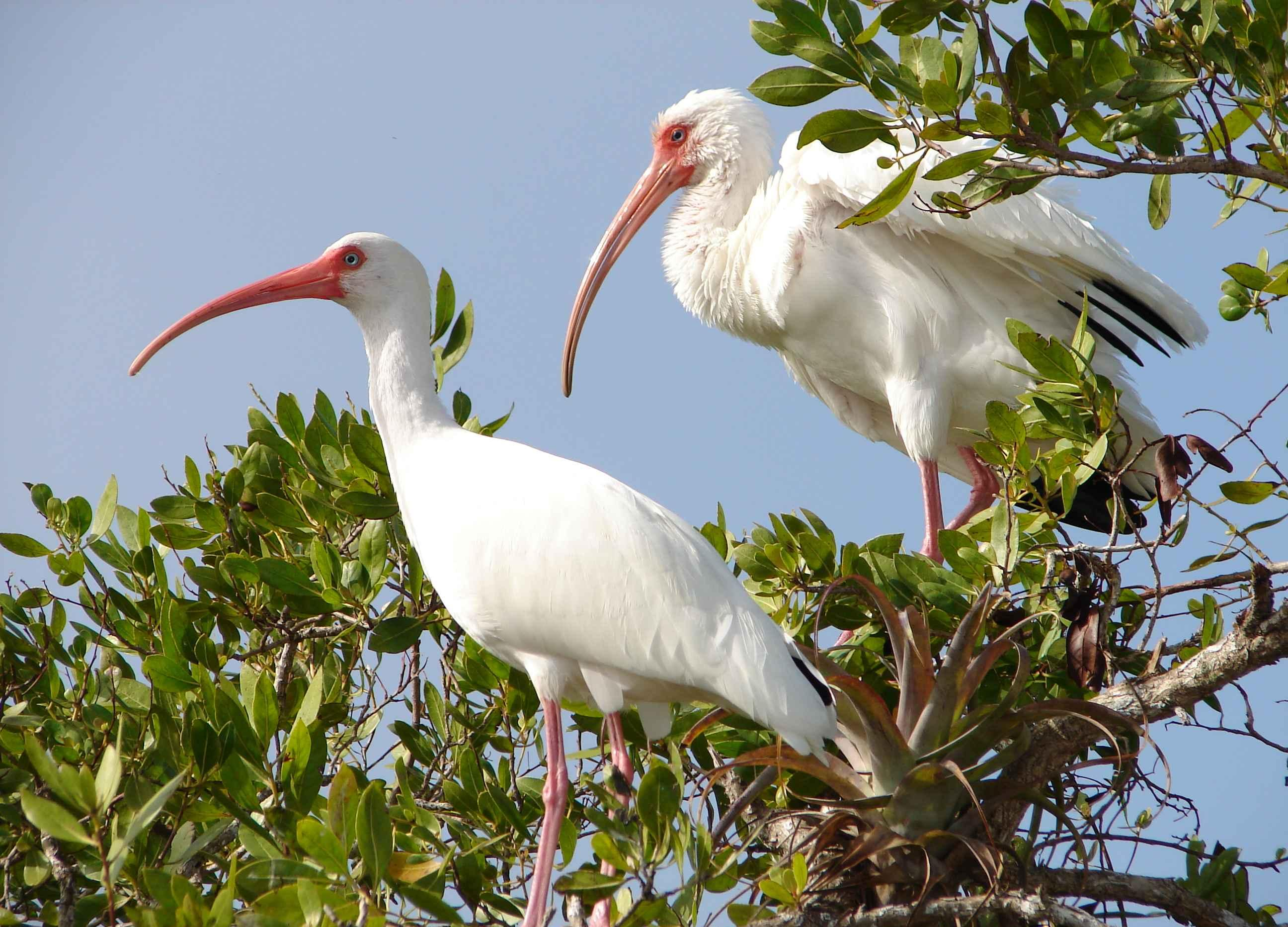 Free photograph; two, white, ibis, birds, eudocimus, alba, branch, bask, warm, sun