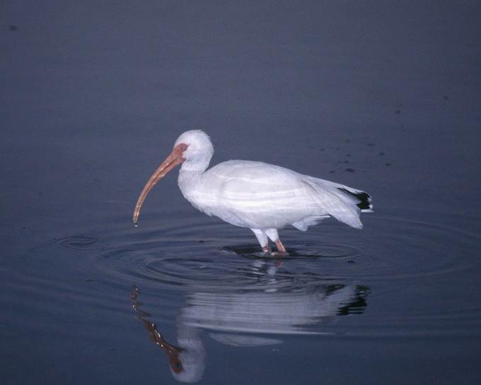 white, ibis, bird, eudocimus albus