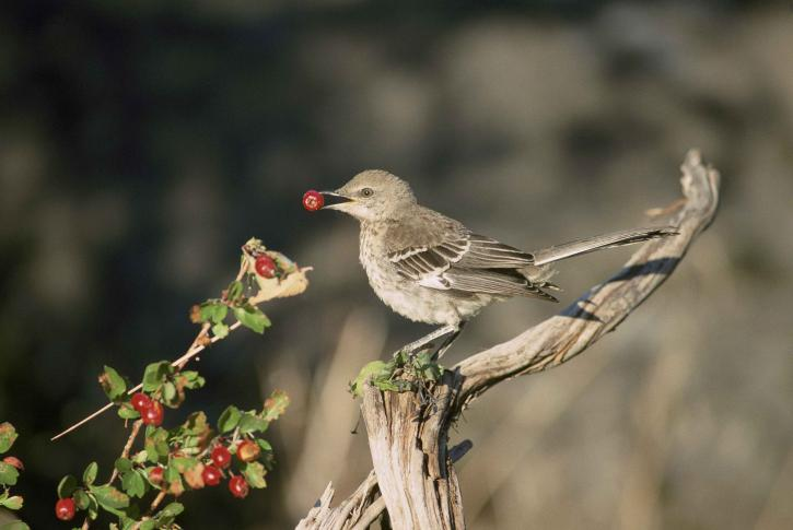 immature, thrasher, standing, dead, branch, eating, red, berries